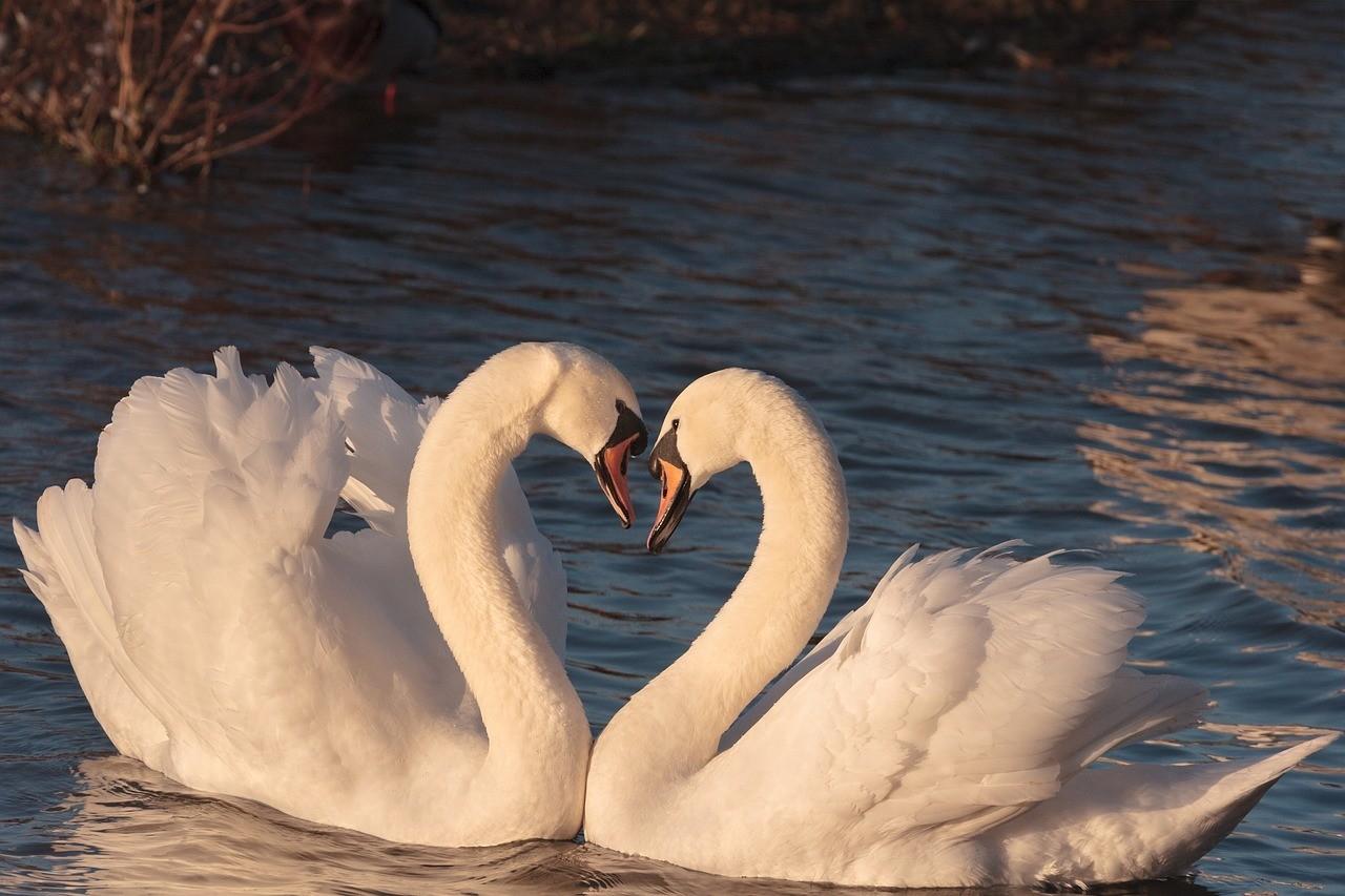 swans 2116649 1280